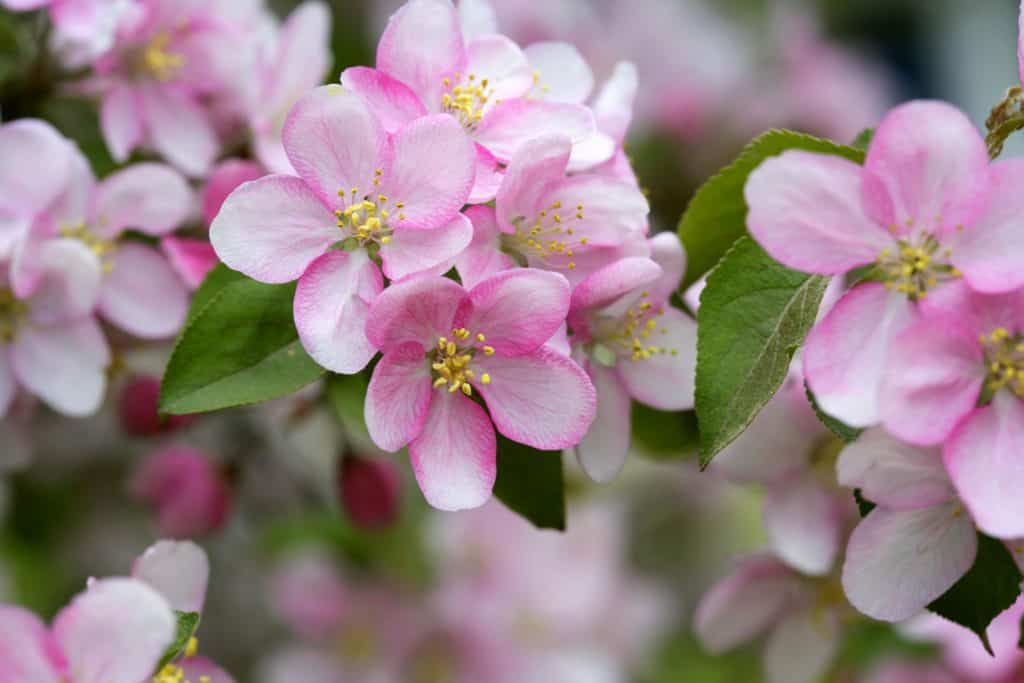 Picture of the Apple Blossom